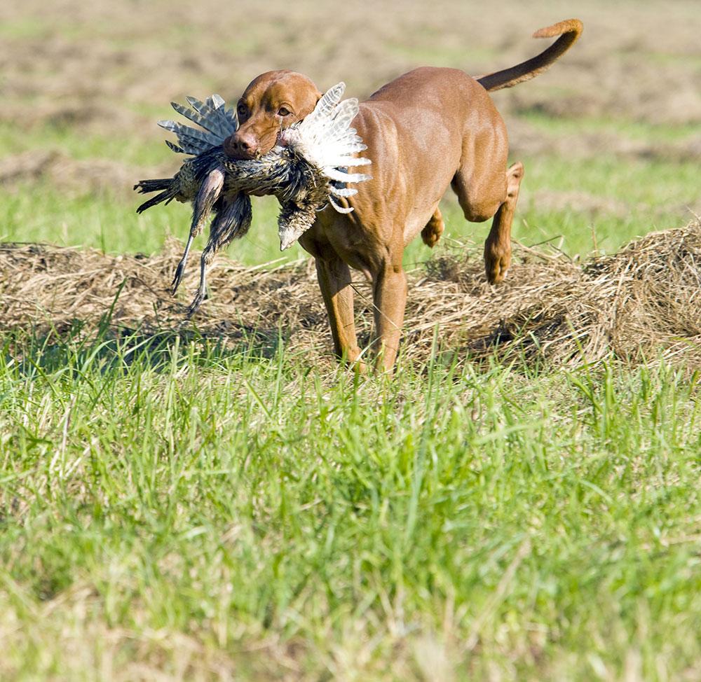 dog carrying pheasant