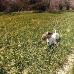 Hunting Dog running with Pheasant